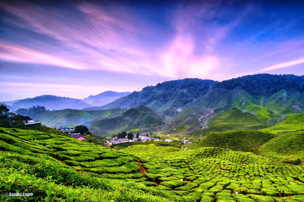 Cameron Highlands/金马伦高原